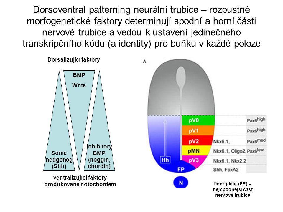 Dorsoventral patterning neurální trubice – rozpustné morfogenetické faktory determinují spodní a horní části nervové trubice a vedou k ustavení jedinečného transkripčního kódu (a identity) pro buňku v každé poloze