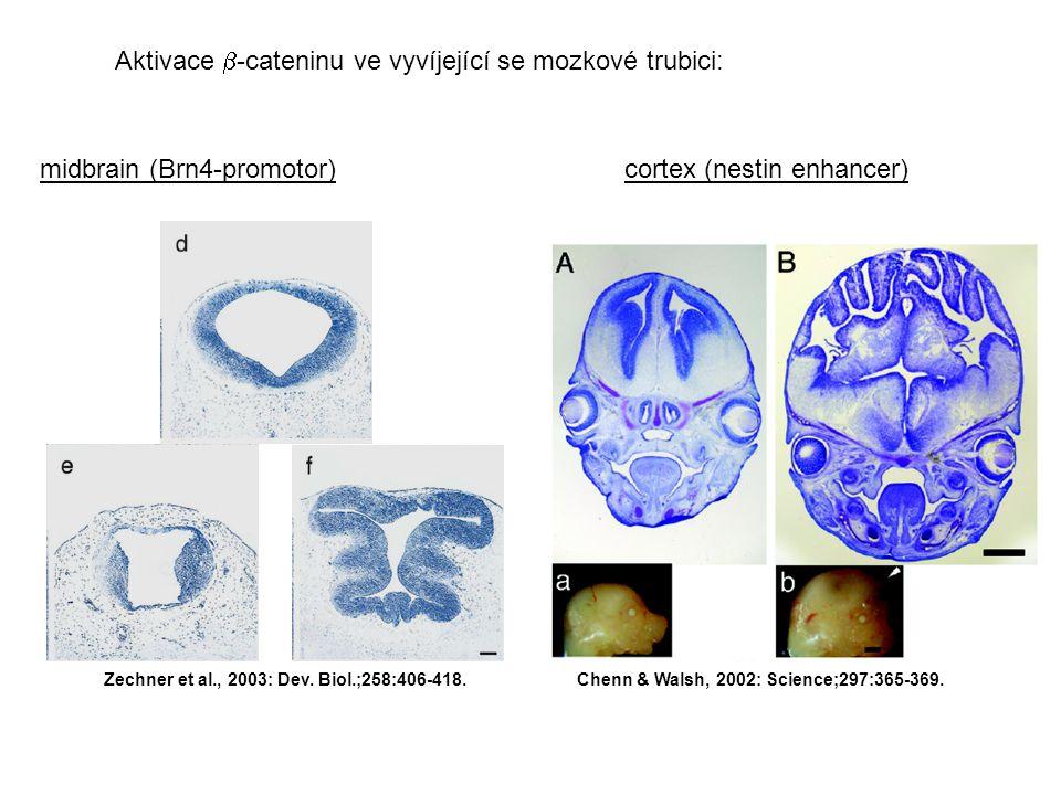 Aktivace -cateninu ve vyvíjející se mozkové trubici: