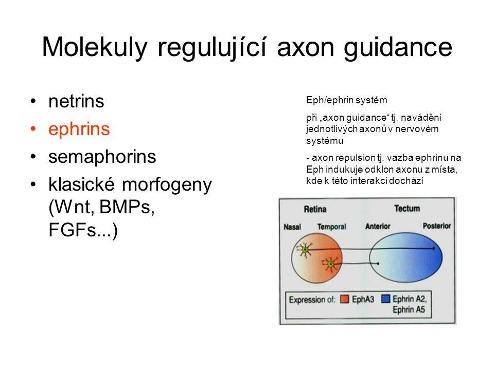 Molekuly regulující axon guidance
