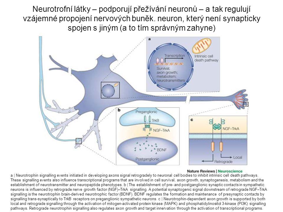 Neurotrofní látky – podporují přežívání neuronů – a tak regulují vzájemné propojení nervových buněk. neuron, který není synapticky spojen s jiným (a to tím správným zahyne)