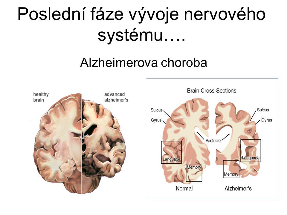 Poslední fáze vývoje nervového systému….