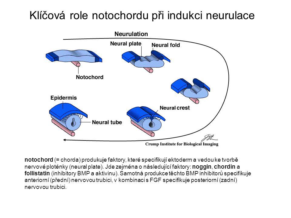 Klíčová role notochordu při indukci neurulace