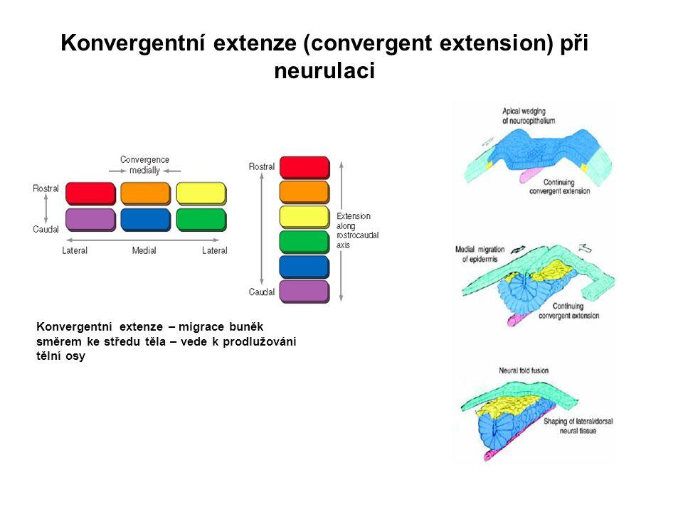 Konvergentní extenze (convergent extension) při neurulaci