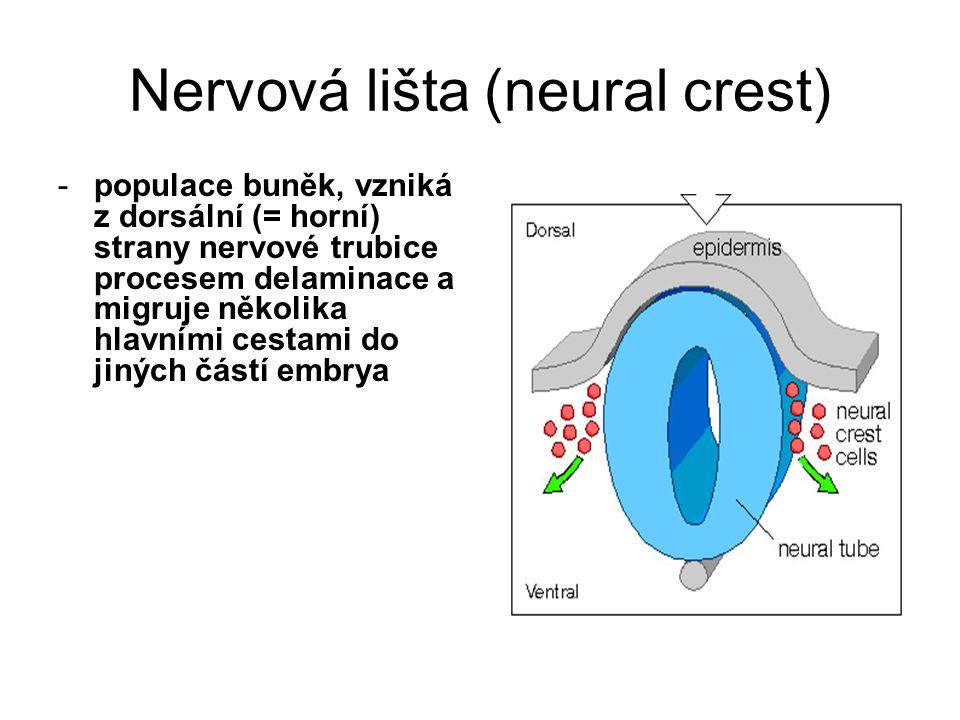 Nervová lišta (neural crest)