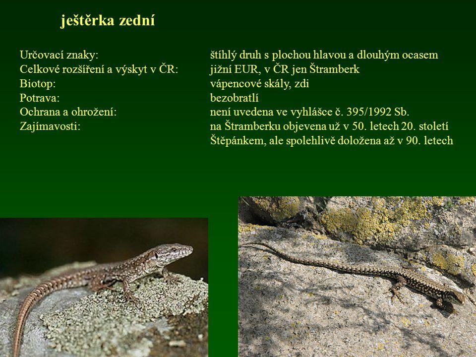 ještěrka zední Určovací znaky: štíhlý druh s plochou hlavou a dlouhým ocasem. Celkové rozšíření a výskyt v ČR: jižní EUR, v ČR jen Štramberk.