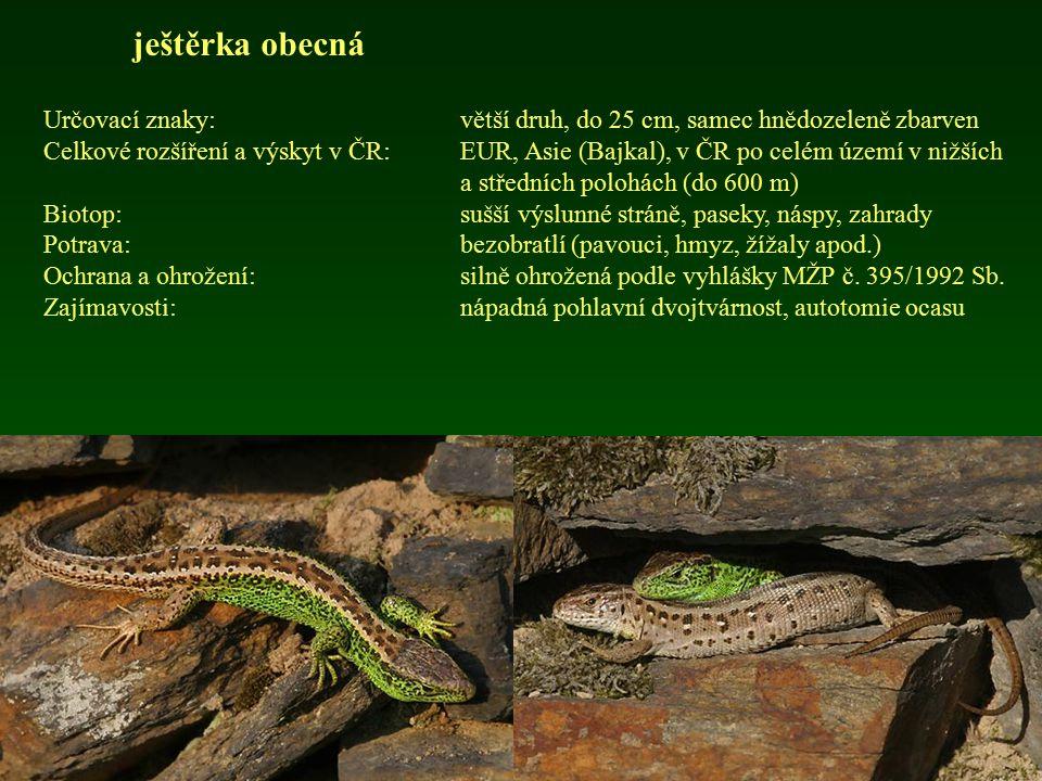 ještěrka obecná Určovací znaky: větší druh, do 25 cm, samec hnědozeleně zbarven.