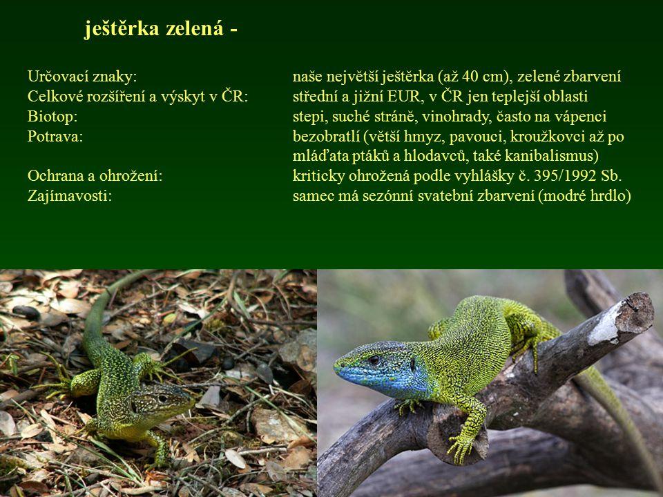 ještěrka zelená - Určovací znaky: naše největší ještěrka (až 40 cm), zelené zbarvení.