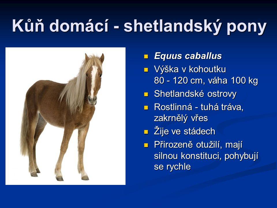 Kůň domácí - shetlandský pony