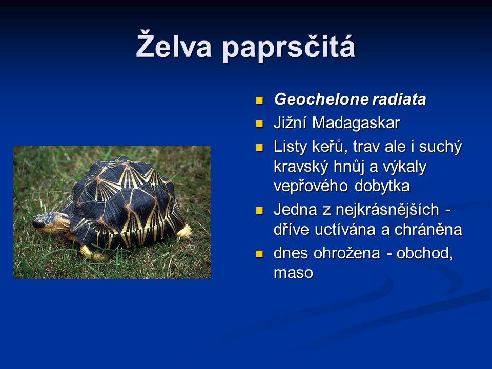 Želva paprsčitá Geochelone radiata Jižní Madagaskar