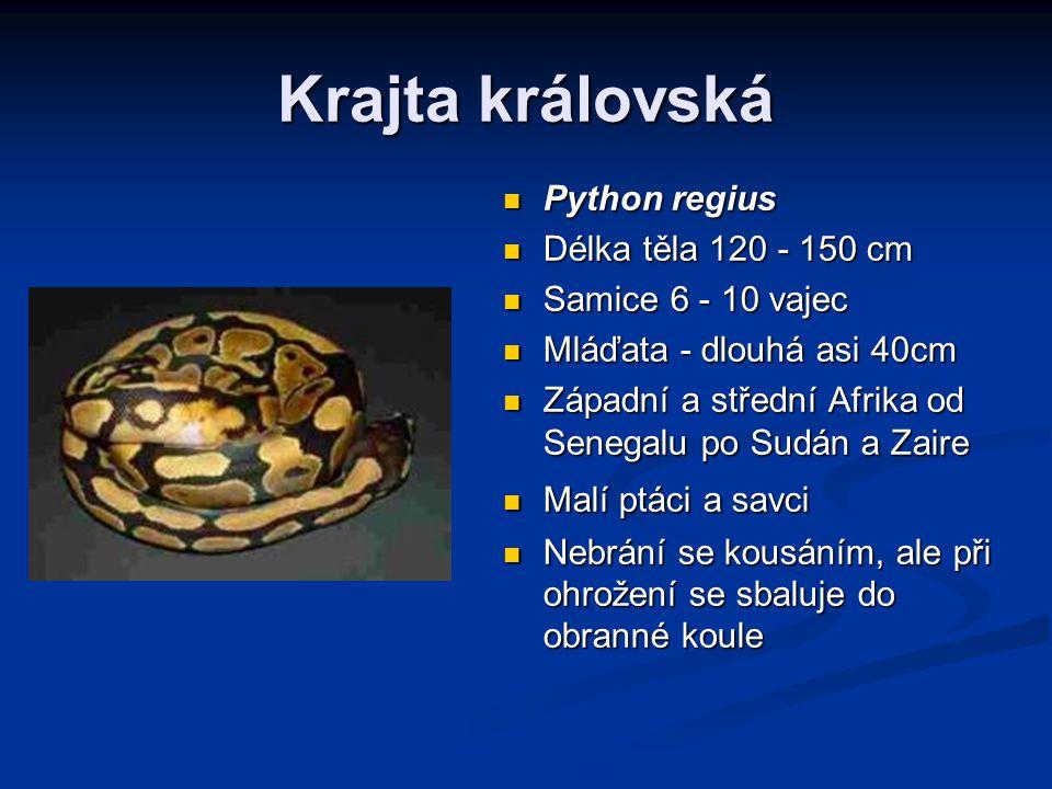 Krajta královská Python regius Délka těla 120 - 150 cm