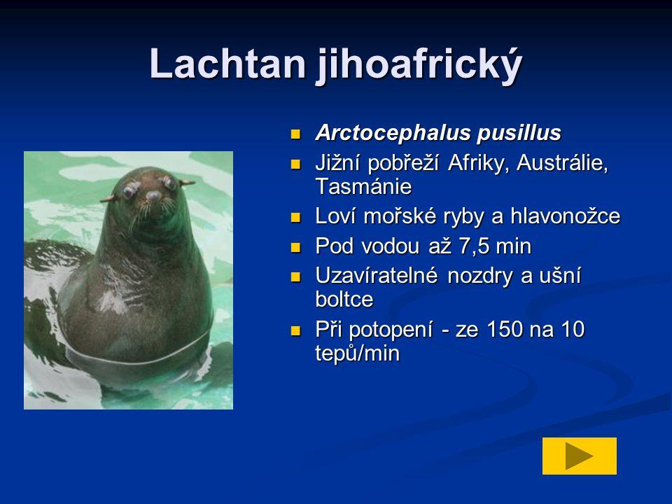 Lachtan jihoafrický Arctocephalus pusillus