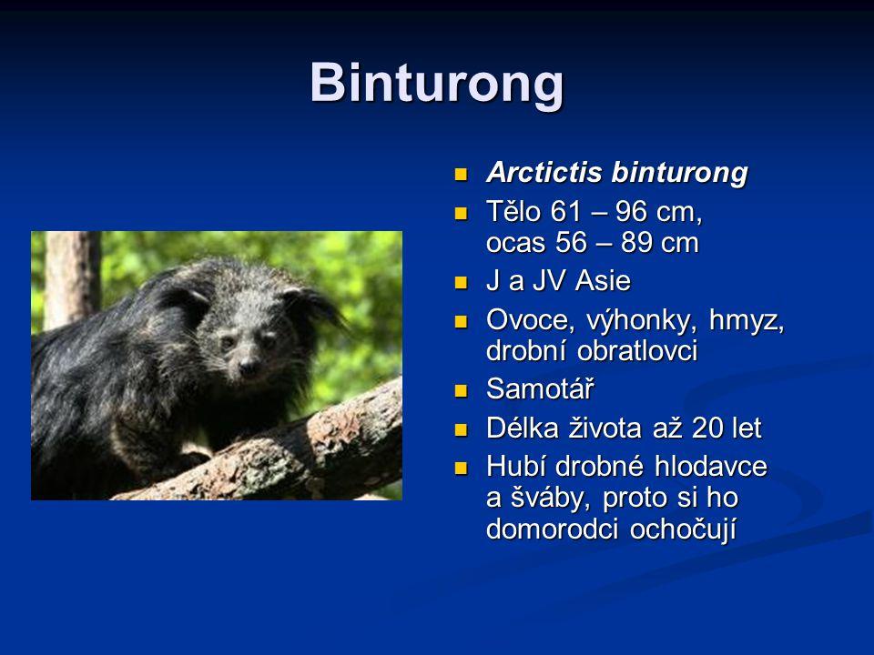 Binturong Arctictis binturong Tělo 61 – 96 cm, ocas 56 – 89 cm