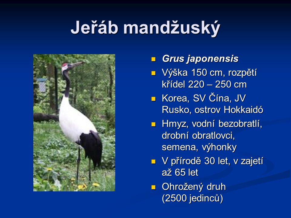 Jeřáb mandžuský Grus japonensis