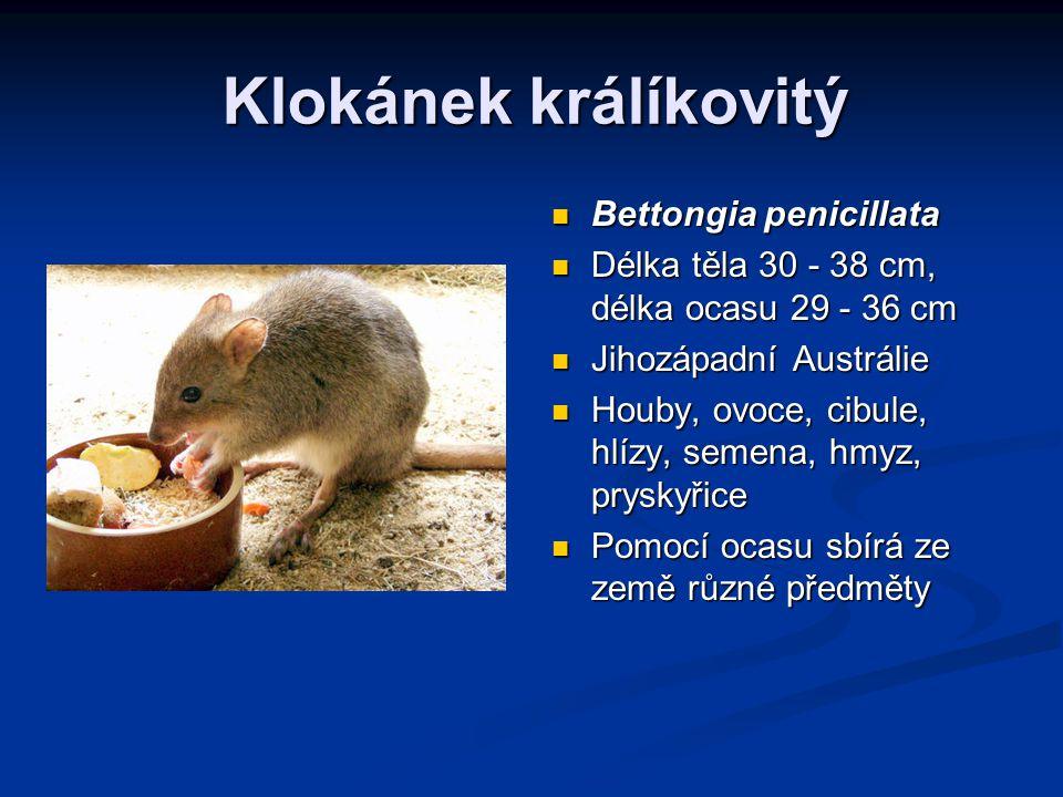 Klokánek králíkovitý Bettongia penicillata