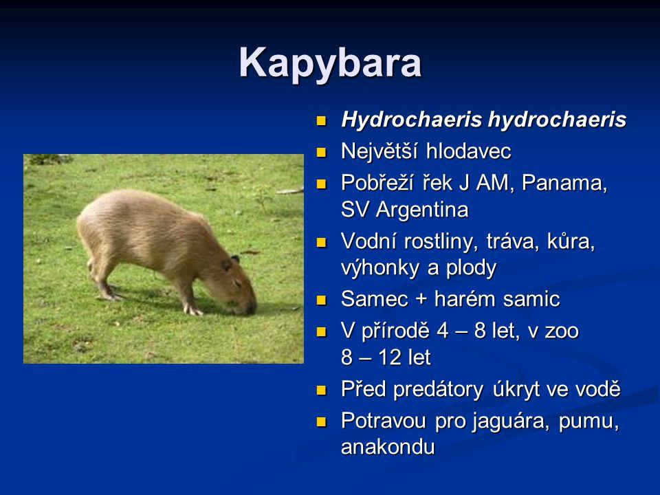 Kapybara Hydrochaeris hydrochaeris Největší hlodavec