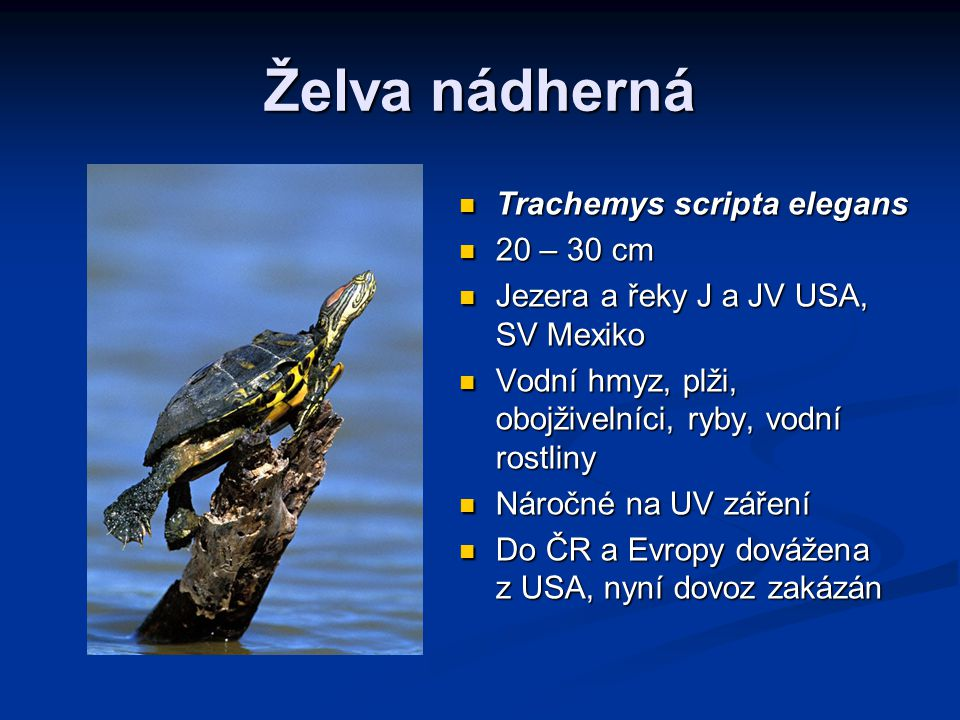 Želva nádherná Trachemys scripta elegans 20 – 30 cm
