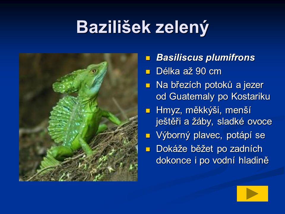 Bazilišek zelený Basiliscus plumifrons Délka až 90 cm