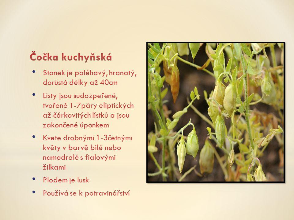 Čočka kuchyňská Stonek je poléhavý, hranatý, dorůstá délky až 40cm