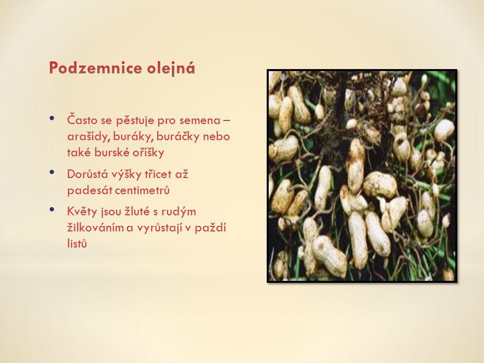 Podzemnice olejná Často se pěstuje pro semena – arašídy, buráky, buráčky nebo také burské oříšky.