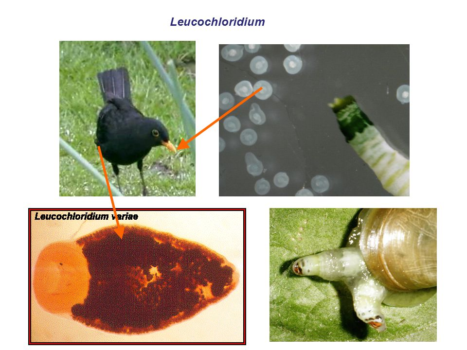Leucochloridium