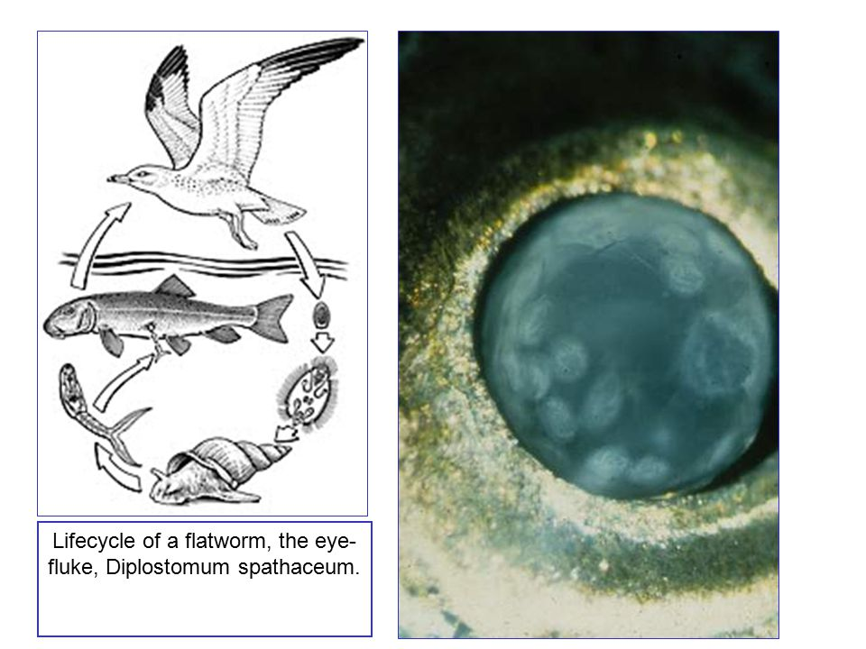 Lifecycle of a flatworm, the eye-fluke, Diplostomum spathaceum.
