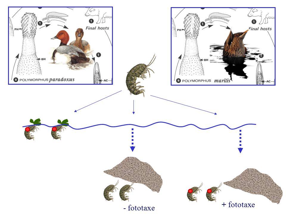 paradoxus marilis - fototaxe + fototaxe