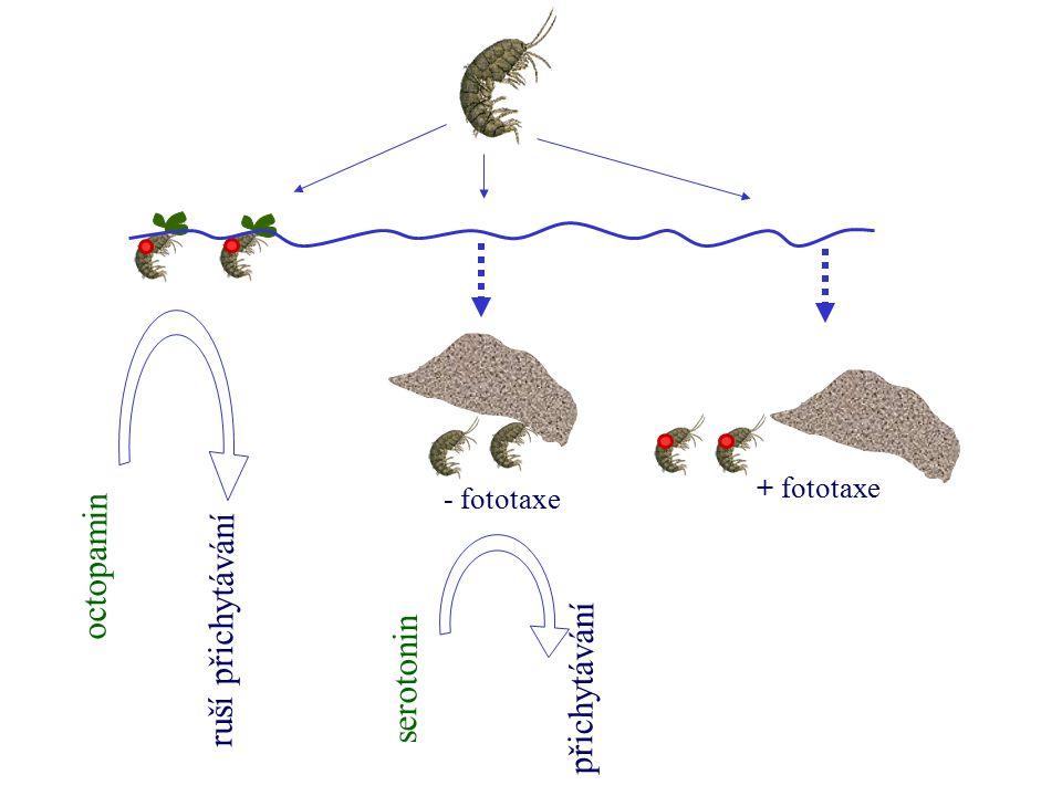 octopamin ruší přichytávání serotonin přichytávání + fototaxe