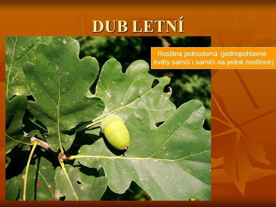 DUB LETNÍ Rostlina jednodomá (jednopohlavné
