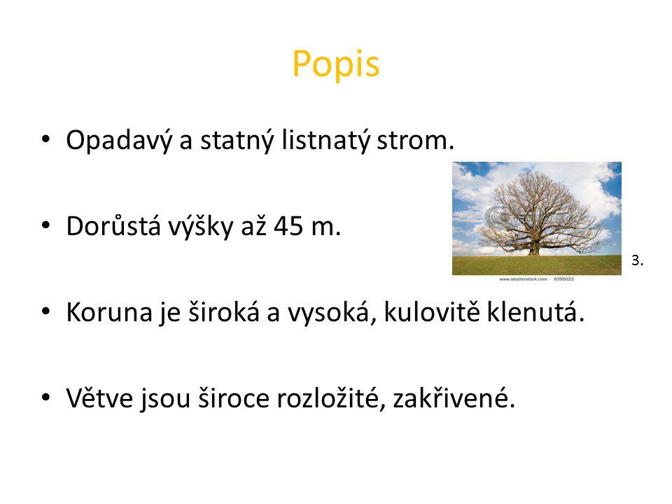 Popis Opadavý a statný listnatý strom. Dorůstá výšky až 45 m.