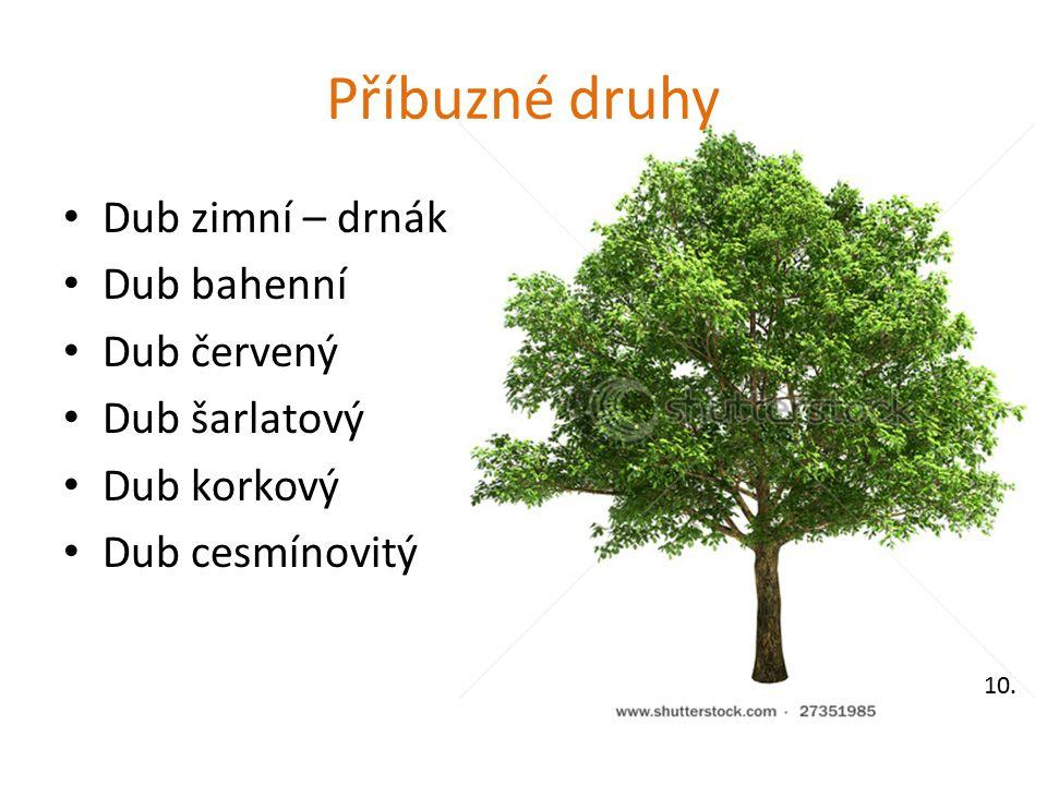 Příbuzné druhy Dub zimní – drnák Dub bahenní Dub červený Dub šarlatový