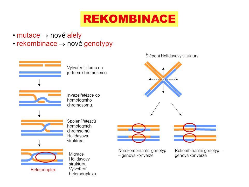 REKOMBINACE mutace  nové alely rekombinace  nové genotypy