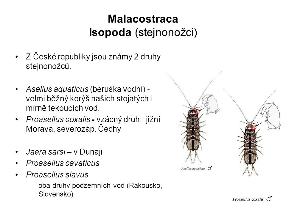 Isopoda (stejnonožci)