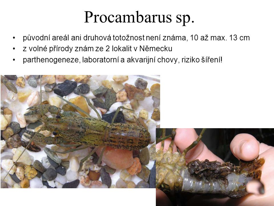 Procambarus sp. původní areál ani druhová totožnost není známa, 10 až max. 13 cm. z volné přírody znám ze 2 lokalit v Německu.