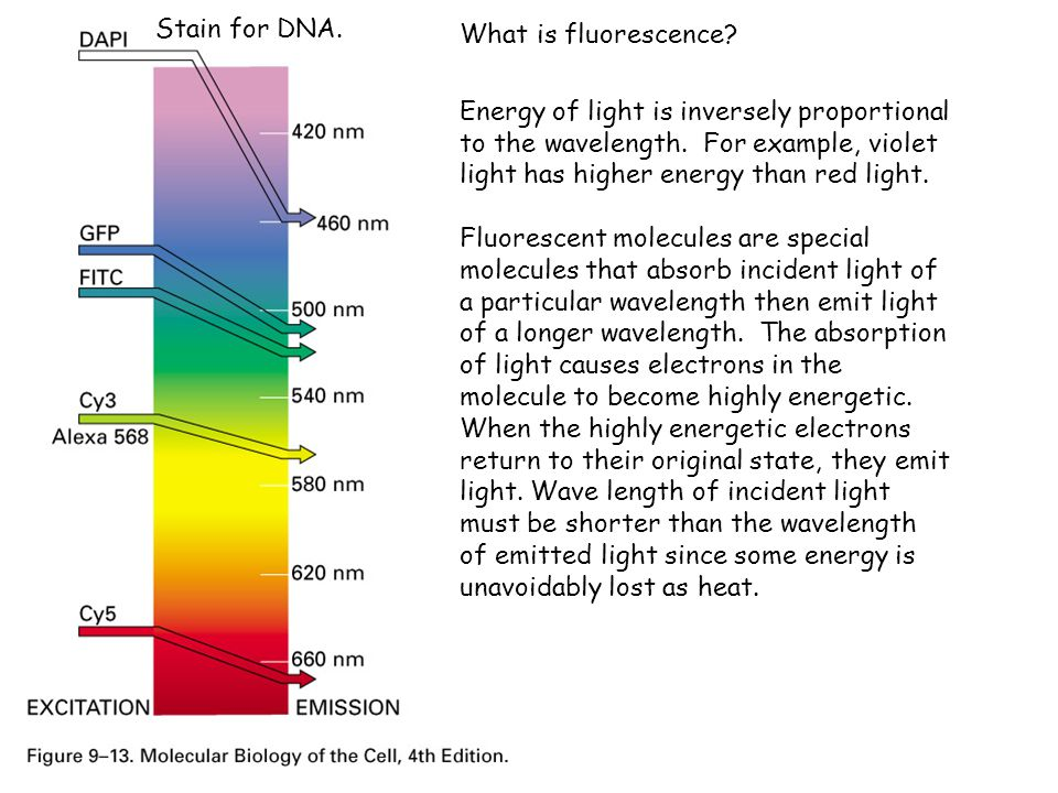 Stain for DNA. What is fluorescence
