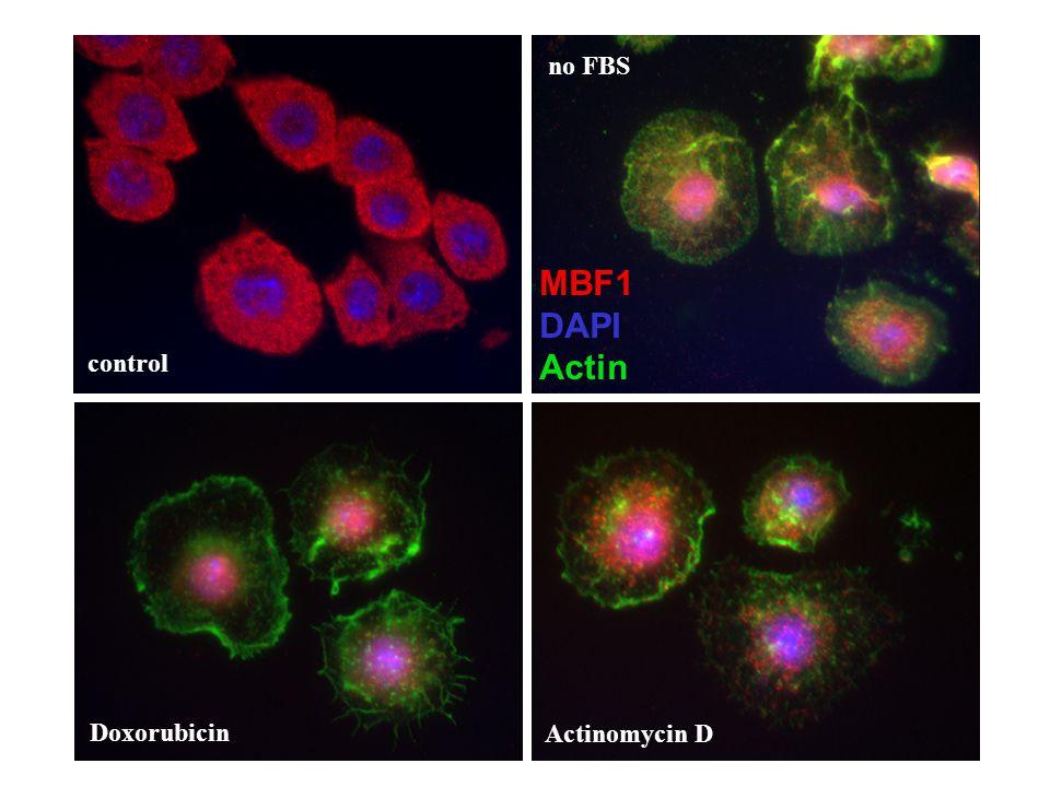 no FBS MBF1 DAPI Actin control Actinomycin D Doxorubicin