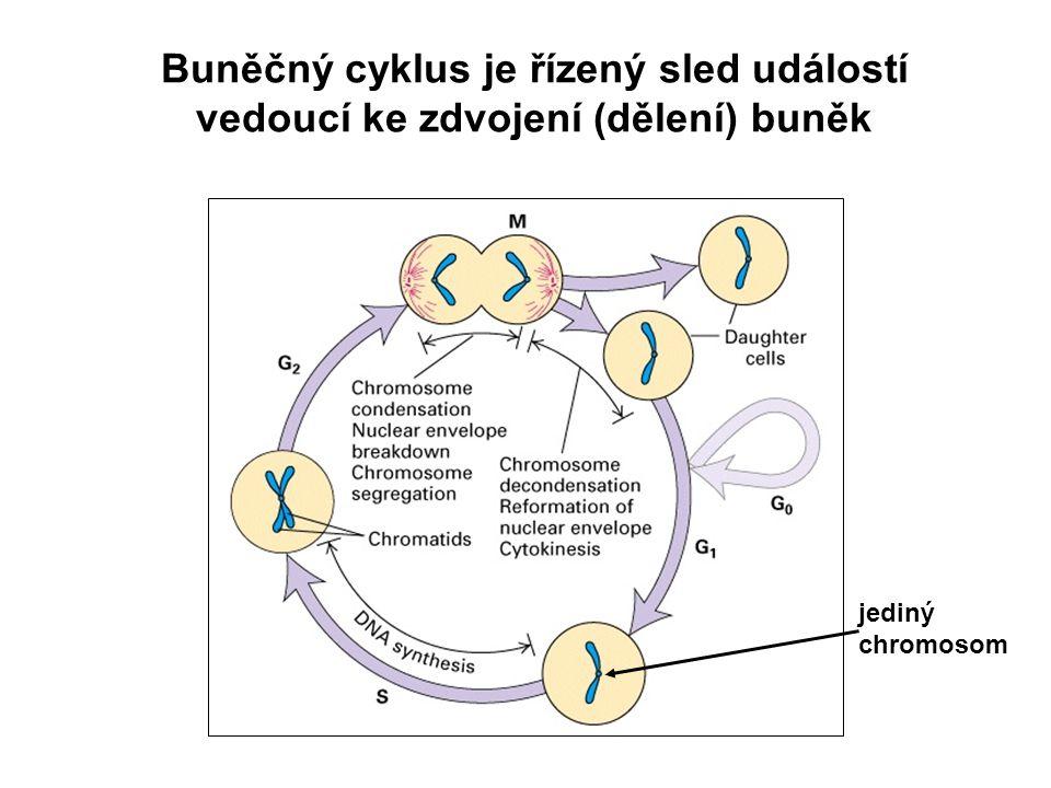 Buněčný cyklus je řízený sled událostí vedoucí ke zdvojení (dělení) buněk