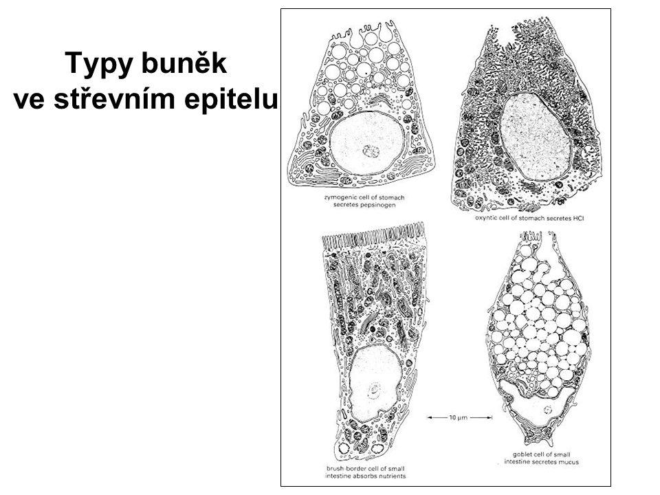 Typy buněk ve střevním epitelu