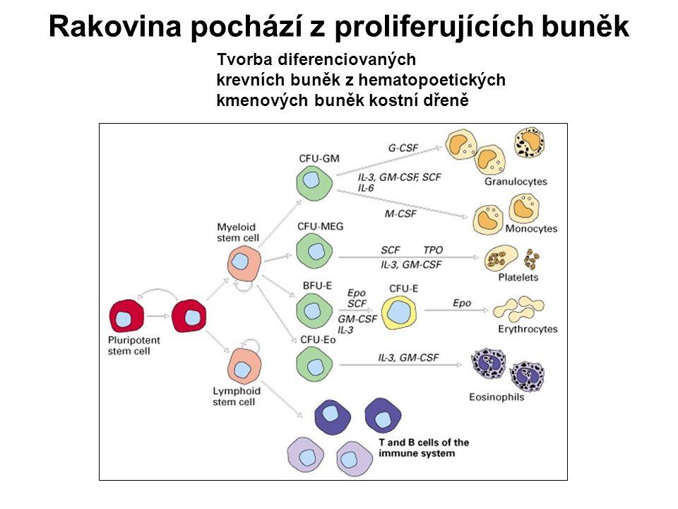 Rakovina pochází z proliferujících buněk