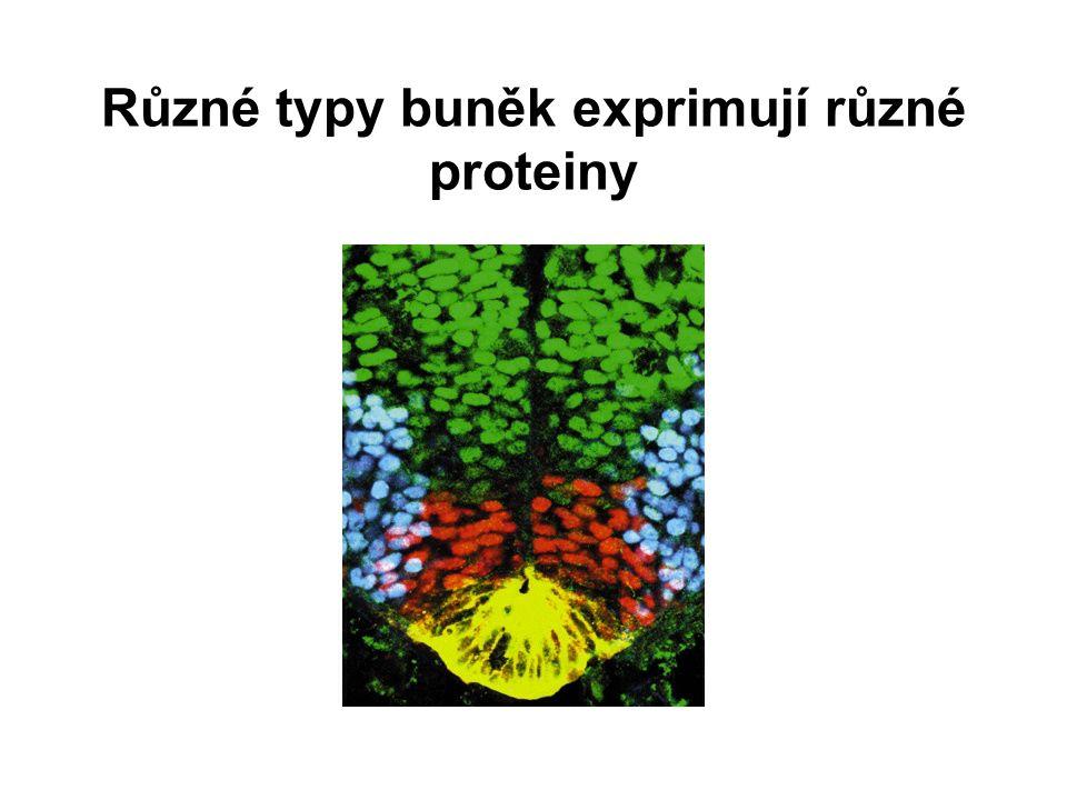 Různé typy buněk exprimují různé proteiny
