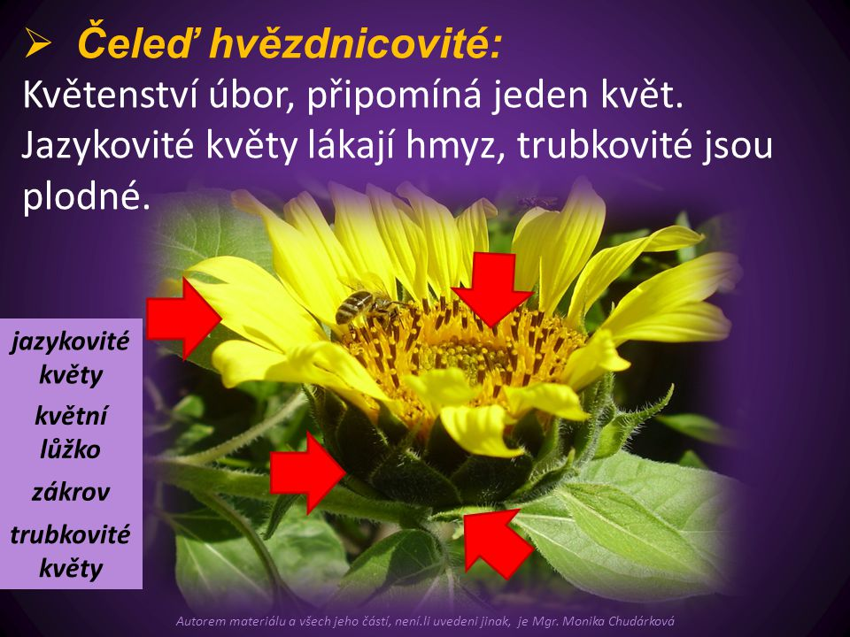 Květenství úbor, připomíná jeden květ.