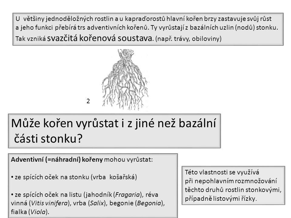 Může kořen vyrůstat i z jiné než bazální části stonku