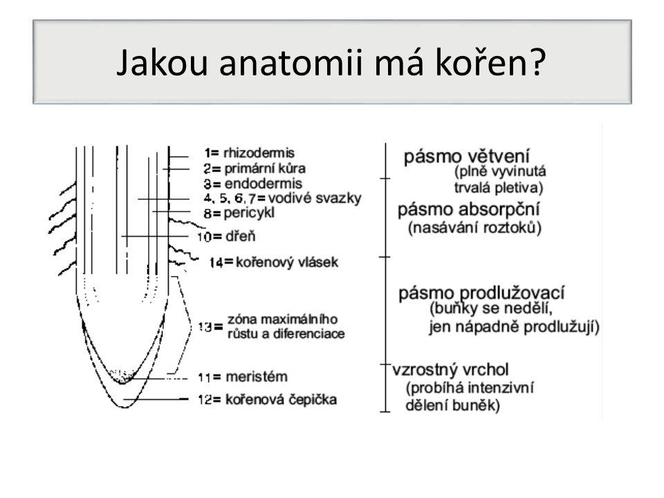 Jakou anatomii má kořen
