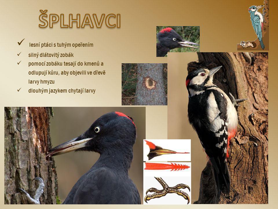 ŠPLHAVCI lesní ptáci s tuhým opeřením silný dlátovitý zobák