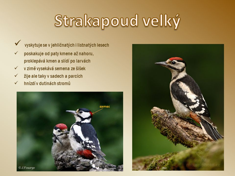 Strakapoud velký vyskytuje se v jehličnatých i listnatých lesech