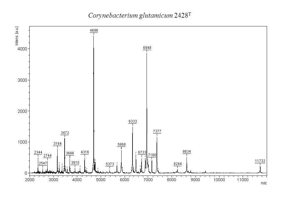 Corynebacterium glutamicum 2428T