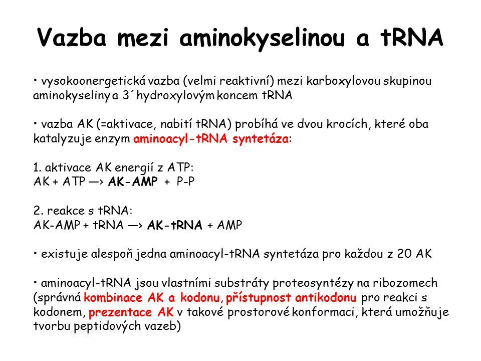 Vazba mezi aminokyselinou a tRNA