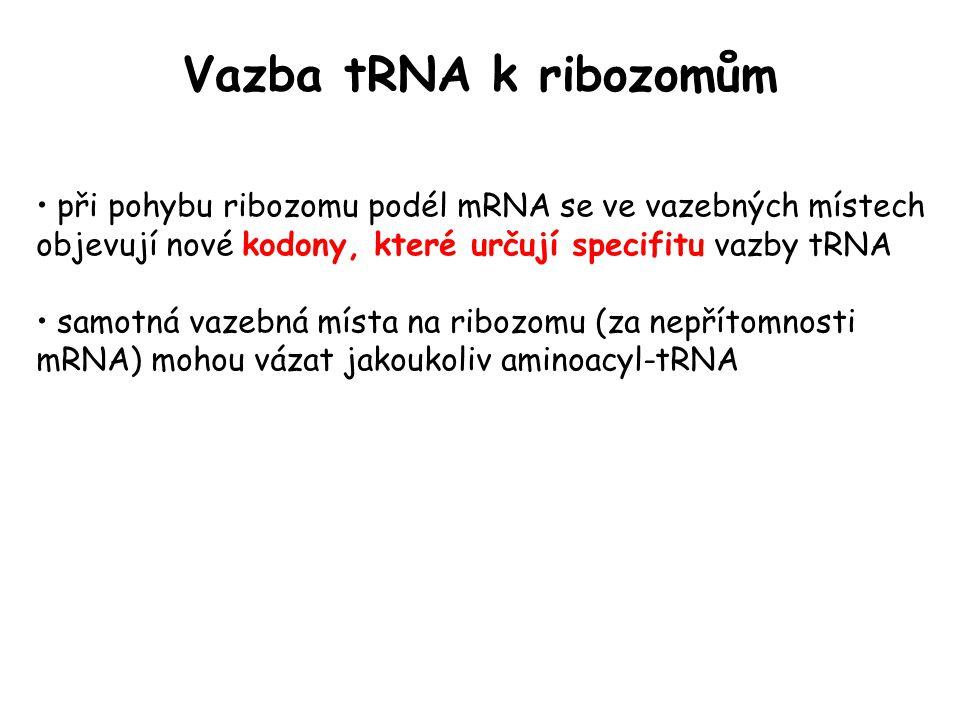 Vazba tRNA k ribozomům při pohybu ribozomu podél mRNA se ve vazebných místech objevují nové kodony, které určují specifitu vazby tRNA.