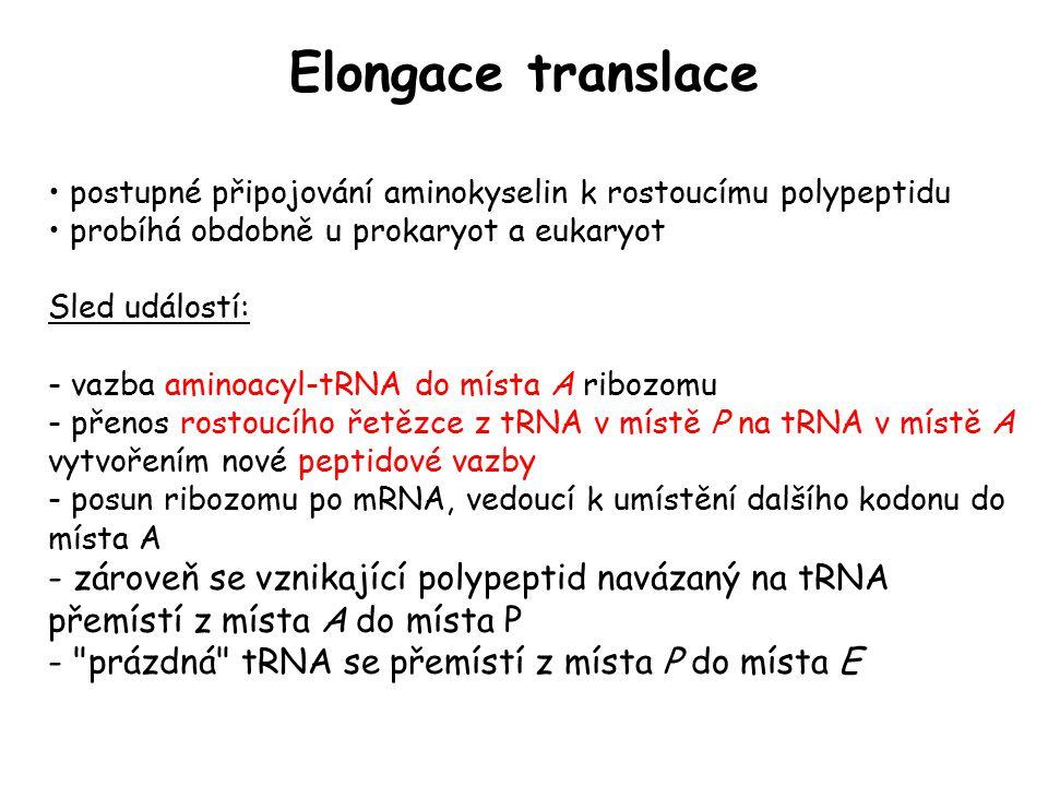 Elongace translace postupné připojování aminokyselin k rostoucímu polypeptidu. probíhá obdobně u prokaryot a eukaryot.