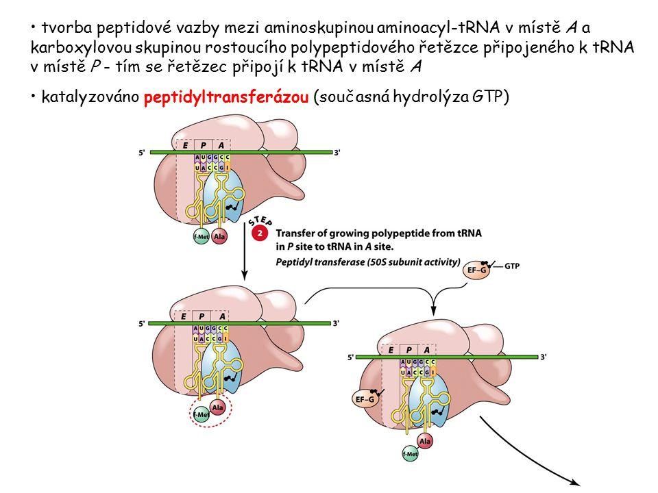 tvorba peptidové vazby mezi aminoskupinou aminoacyl-tRNA v místě A a karboxylovou skupinou rostoucího polypeptidového řetězce připojeného k tRNA v místě P - tím se řetězec připojí k tRNA v místě A
