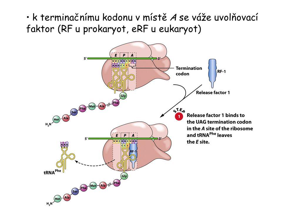 k terminačnímu kodonu v místě A se váže uvolňovací faktor (RF u prokaryot, eRF u eukaryot)